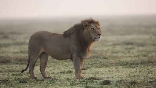 Tiger werden seltener – Wilderer jagen vermehrt Löwen