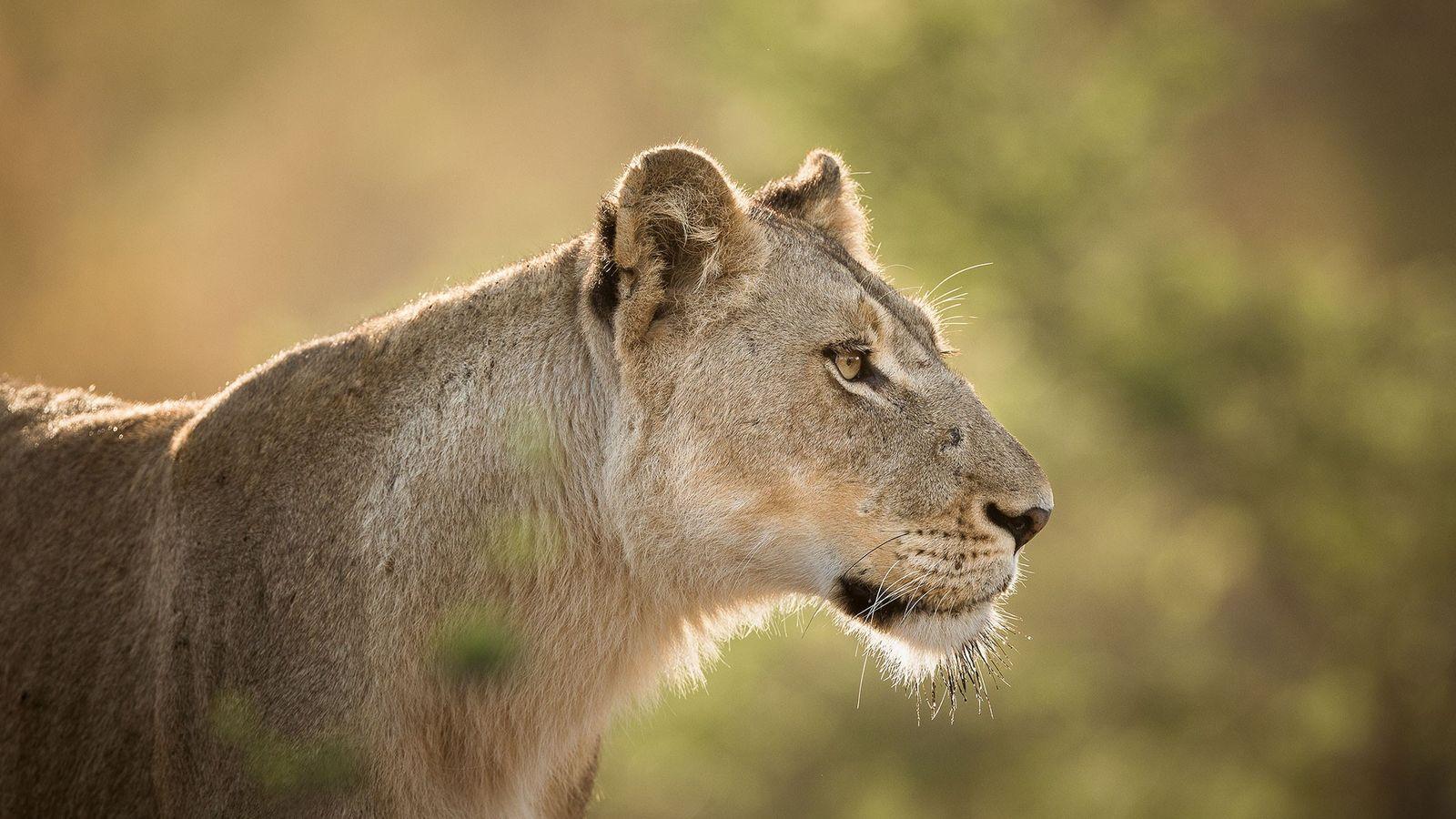 Löwen werden zunehmend durch die Nachfrage an den Zähnen, Krallen und Knochen der Großkatzen bedroht.