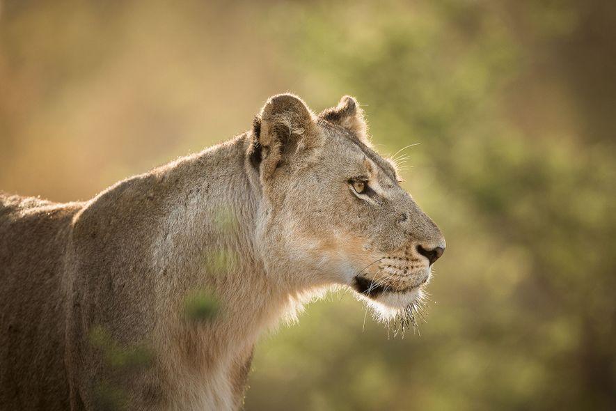 Südafrika erlaubt Export von 1.500 Löwenskeletten pro Jahr