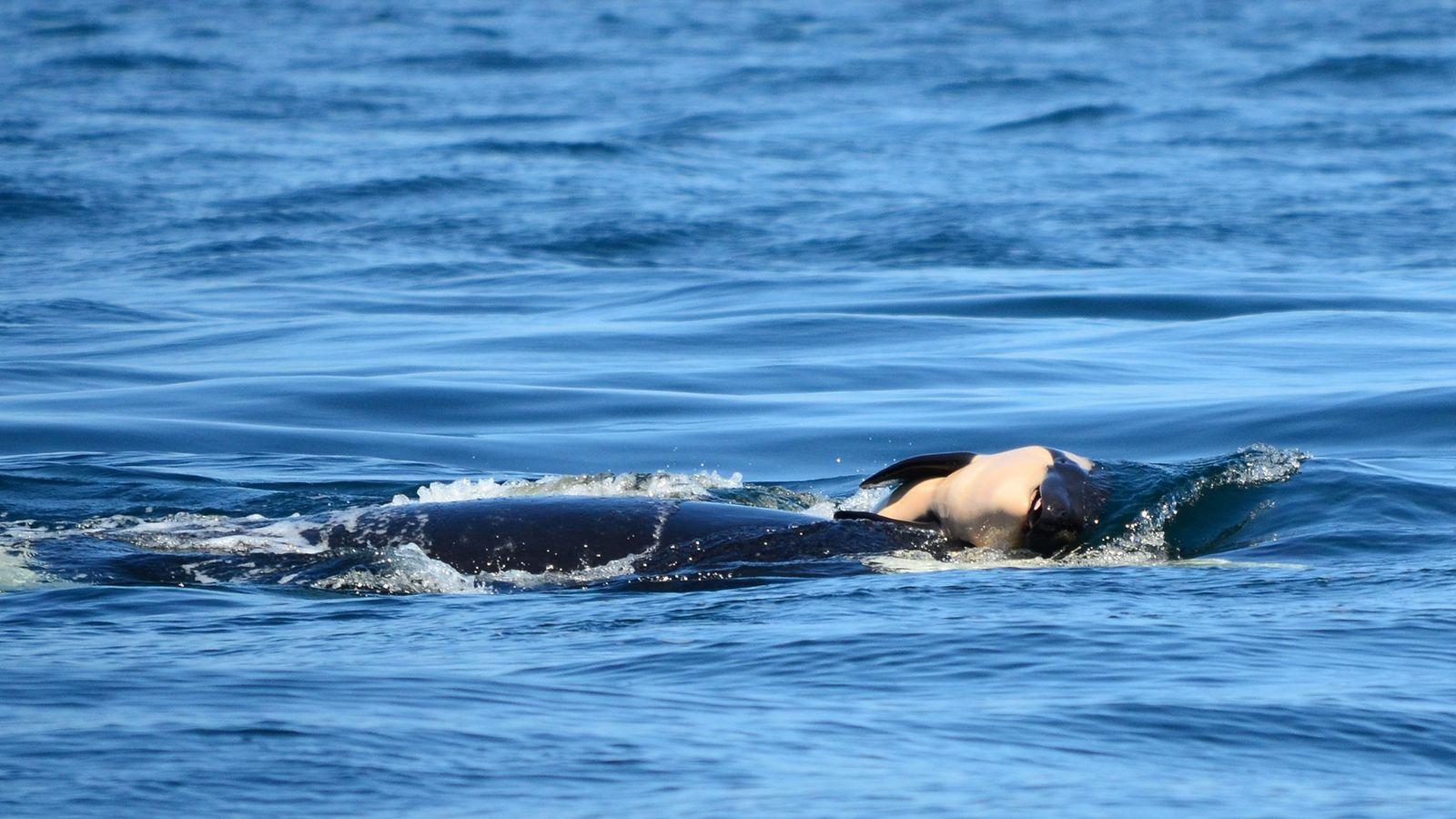 Ein Orca namens J35 im Pazifischen Nordwesten trägt sein totes Kalb an der Oberfläche. Experten zufolge ...