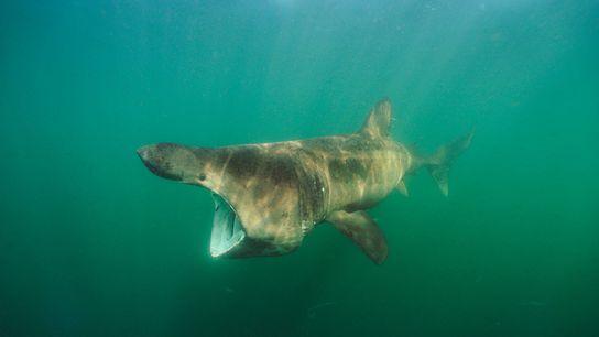 Der Riesenhai wird in einem Großteil seines Verbreitungsgebietes wegen seiner ölhaltigen Leber gejagt. Auf das Organ ...