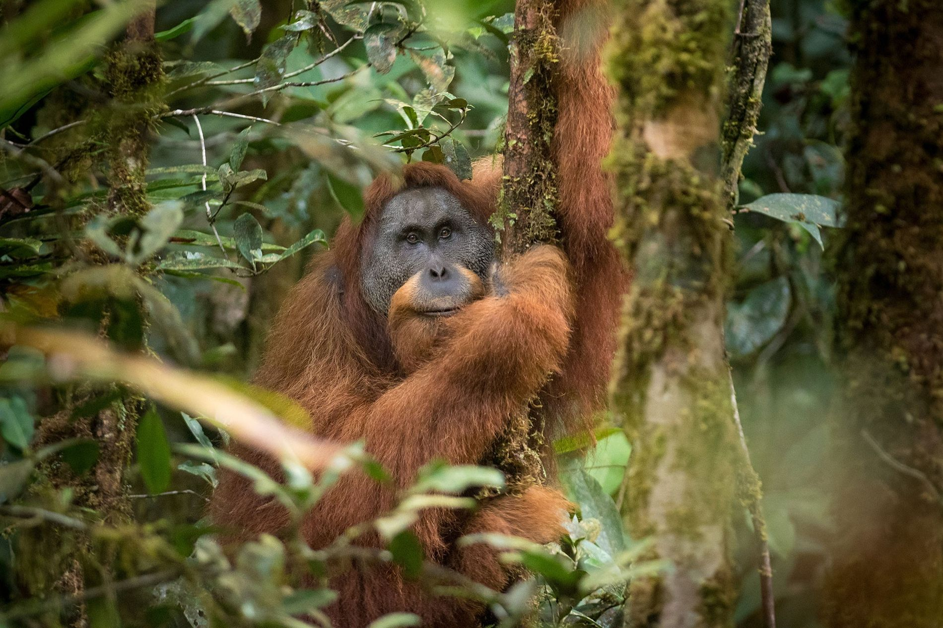 Der Tapanuli-Orang-Utan auf Sumatra wurde erst 2017 als eigene Menschenaffenart anerkannt. Von den enorm seltenen Baumbewohnern ...