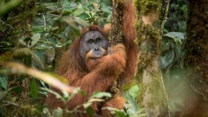 Wasserkraftwerk könnte Todesurteil für Tapanuli-Orang-Utans sein