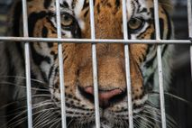 Nicht mal mehr 4.000 Tiger leben in freier Wildbahn, während bis zu 8.000 der Tiere in ...