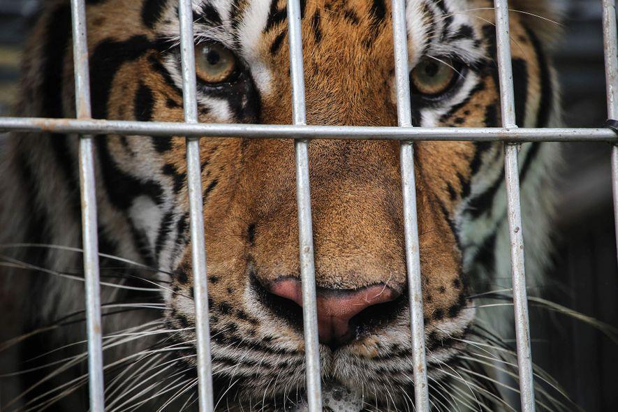 """Exklusiv: """"Tigerfarmen"""" und Zoos beliefern Schwarzmarkt mit Tigern"""