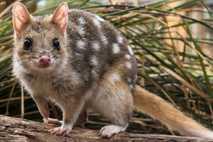 Der Tüpfelbeutelmarder (Dasyurus viverrinus) starb auf dem australischen Festland aus, aber eine Population auf Tasmanien blieb ...