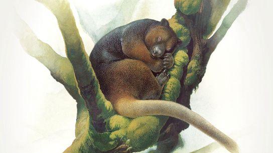 Das extrem seltene Wondiwoi-Baumkänguru wurde zuletzt 1928 von Forschern beobachtet. Lange Zeit lagen den Wissenschaftlern daher ...