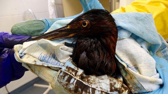 Ein ölverklebter Grünreiher wird in das International Bird Rescue Center in Southern California eingeliefert. Dort werden ...