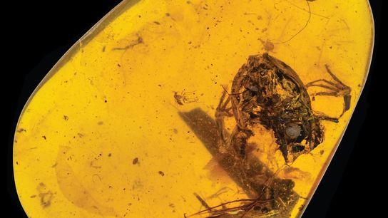 Dieser Bernstein aus Myanmar enthält einen winzigen Frosch, der zu Zeiten der Dinosaurier lebte.