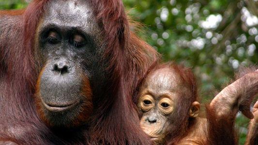 Rekordverdächtig: Orang-Utans säugen ihre Jungen ungewöhnlich lange