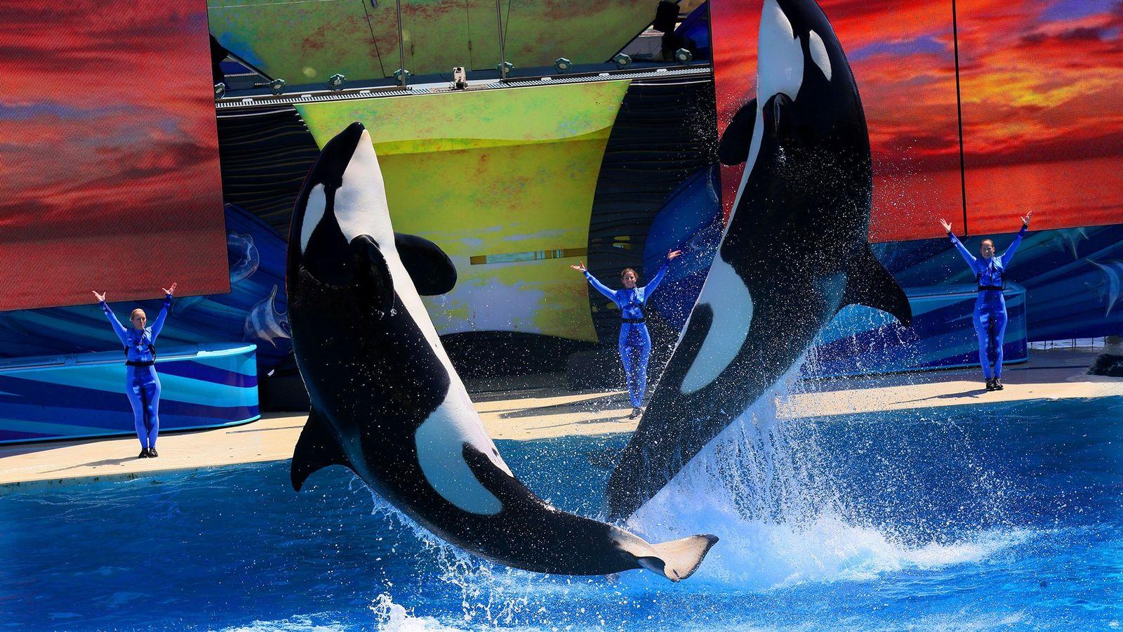 Orcas bei einer Vorführung in Sea World San Diego 2014. Die Säugetiere sind enorm intelligent und ...