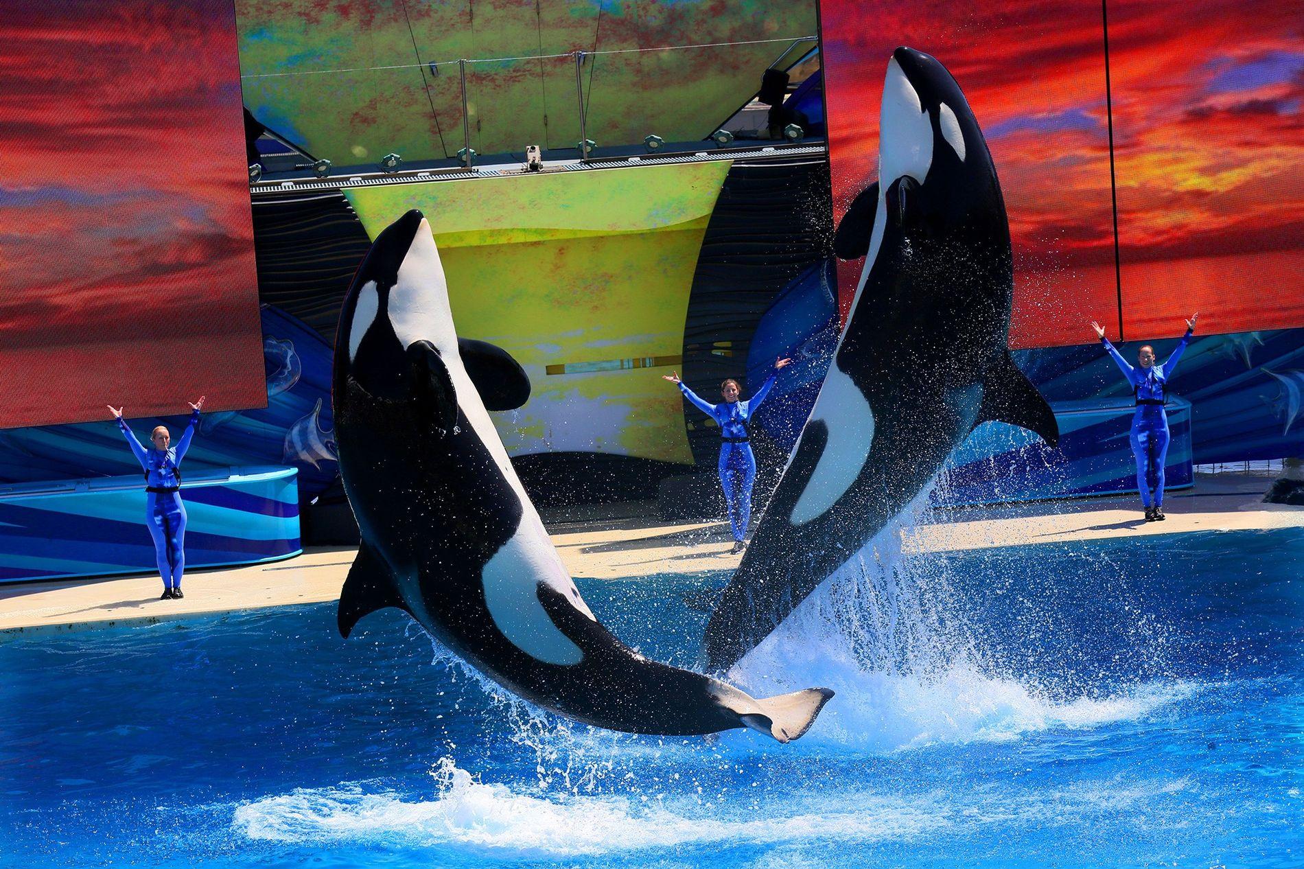 Orcas bei einer Vorführung in Sea World San Diego 2014. Die Säugetiere sind enorm intelligent und legen in der Wildnis große Entfernungen zurück. Seit Jahrzehnten gibt es Belege für Verhaltensstörungen gefangener Orcas, die durch Stress ausgelöst werden.