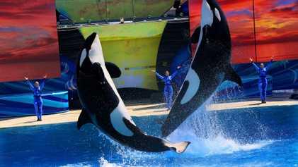Alles fürs Entertainment: Die Tortur gefangener Orcas
