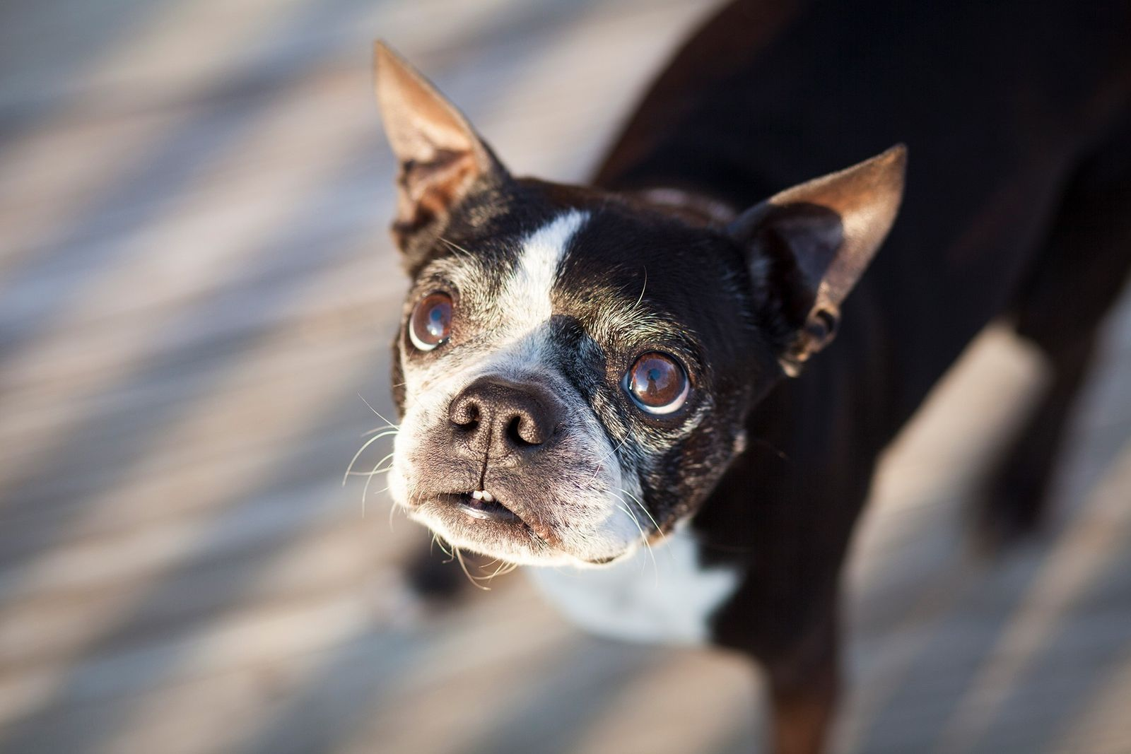 Ein Boston Terrier blickt in die Kamera. Durch Jahrtausende der Domestizierung sind Hunde mittlerweile sehr gut ...