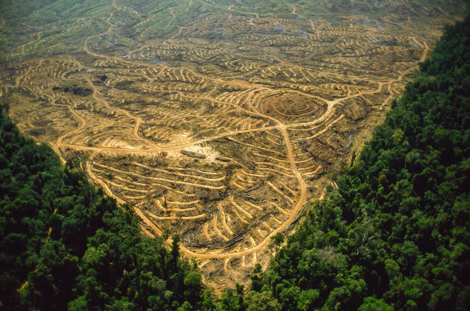 Große Teile des Regenwalds in Indonesien und Malaysia wurden gerodet, um Platz für Palmölplantagen zu machen. ...