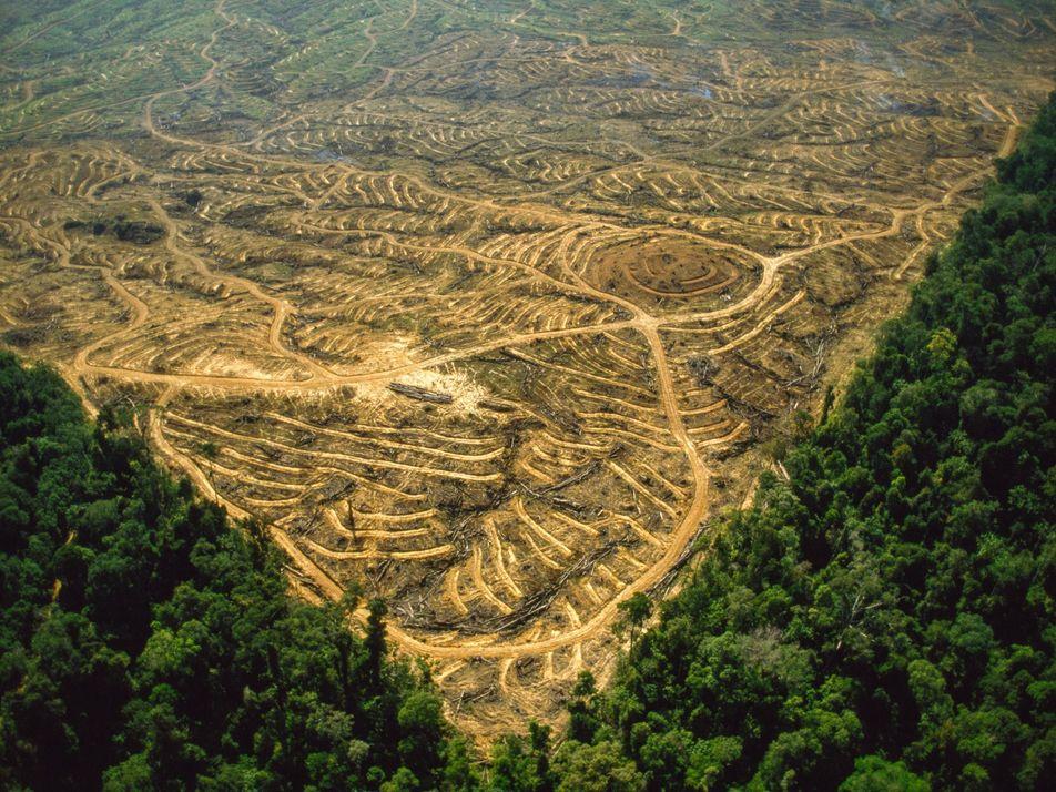 Wildschweinhorden lassen Palmöl noch schädlicher werden