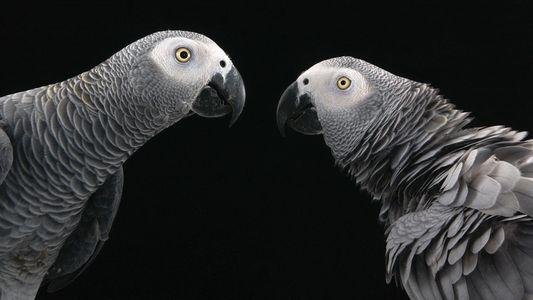 Verhaltensforschung: Papageien sind selbstlose Helfer