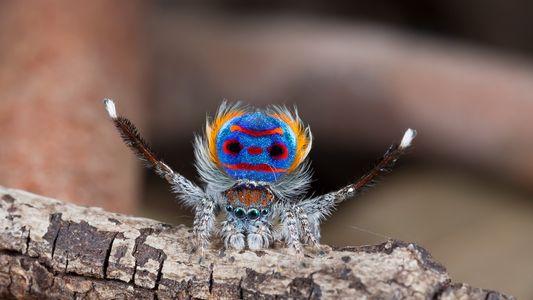 Wie Pfauenspinnen mit optischer Täuschung um Weibchen werben