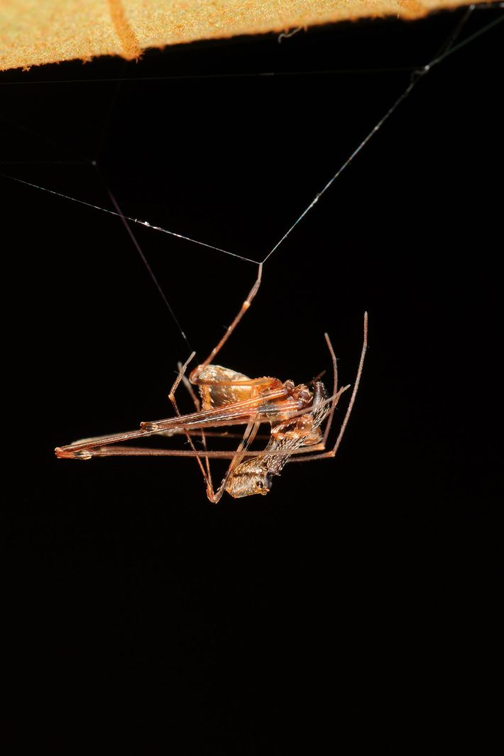 Ein Männchen der Art E. workmani hängt in seinen Fäden. Die heutigen Vertreter der Archaeidae leben ...