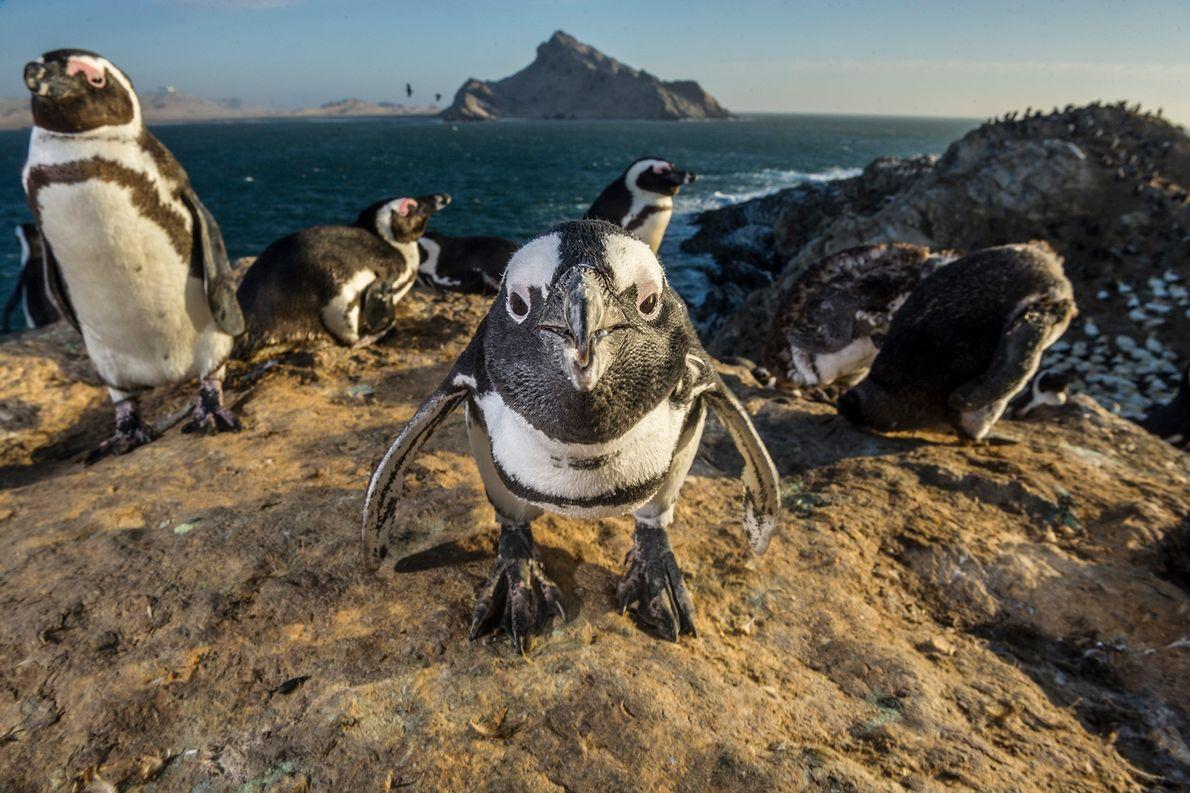 Brillenpinguine nisten auf Mercury Island in Namibia. Diese Pinguine jagen Fischschwärme in Gruppen, was ihre Erfolgschancen ...