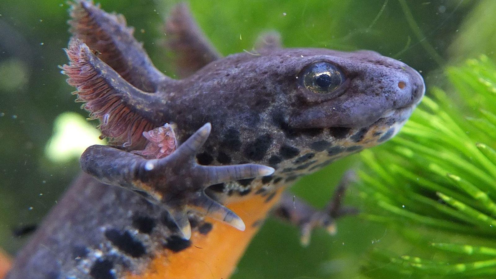 Im Larvenstadium können Bergmolche wie dieses Weibchen von den Vorteilen ihres Wasserlebensraumes profitieren. Manchmal lohnt es ...