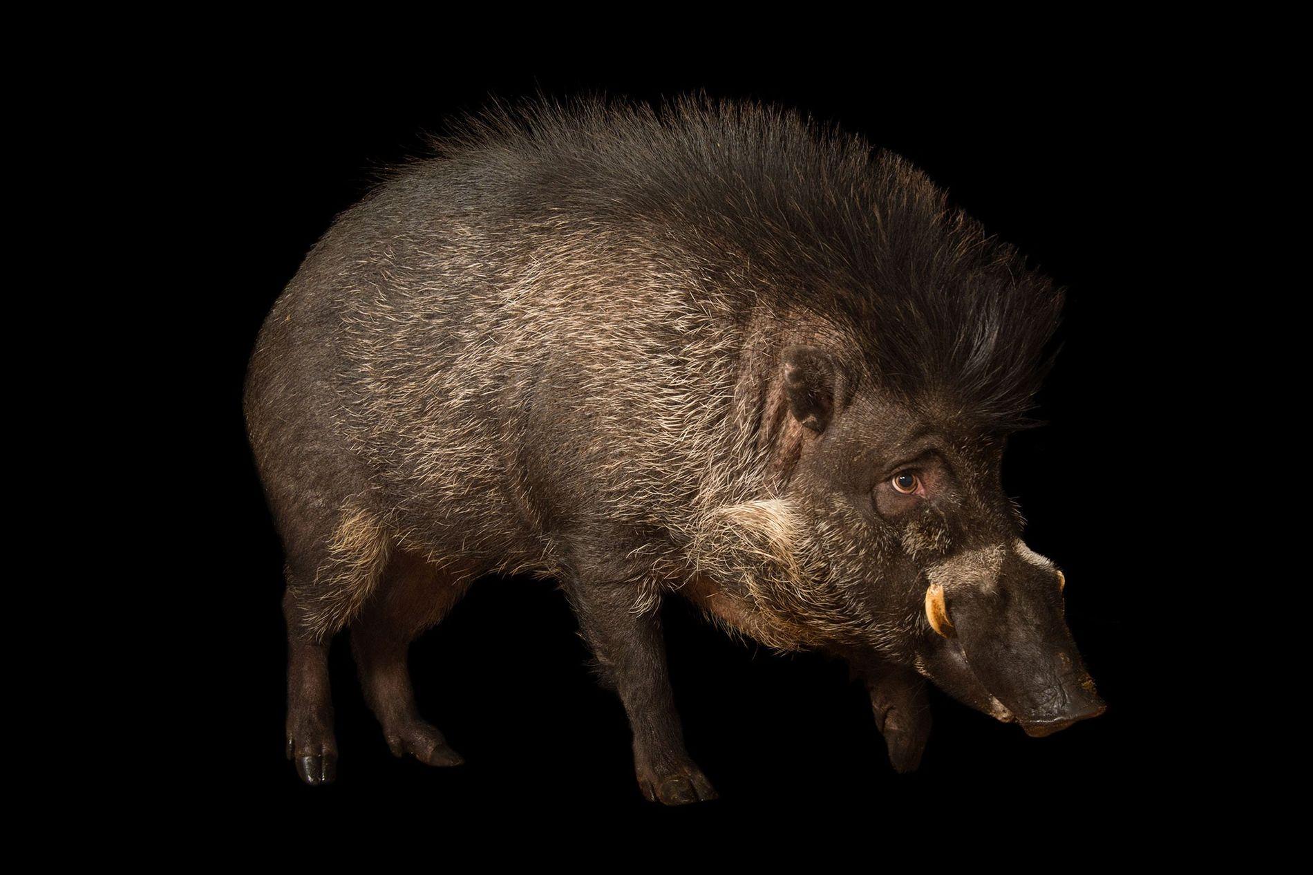 Nur etwa 300 Visayas-Pustelschweine leben in Gefangenschaft (hier zu sehen ein Tier im Minnesota Zoo). Wie ...