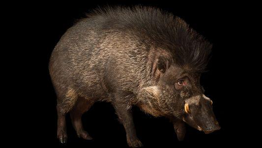 Auch Schweine benutzen Werkzeug