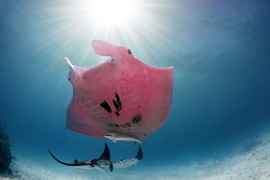 Der rosarote Manta: Wie kam diese einzigartige Färbung zustande?