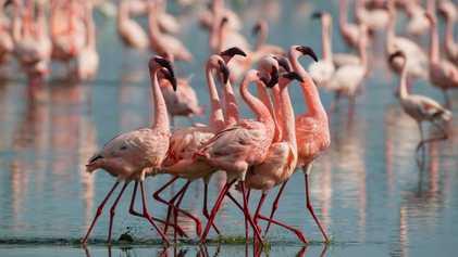 Flamingos: Je pinker, desto aggressiver
