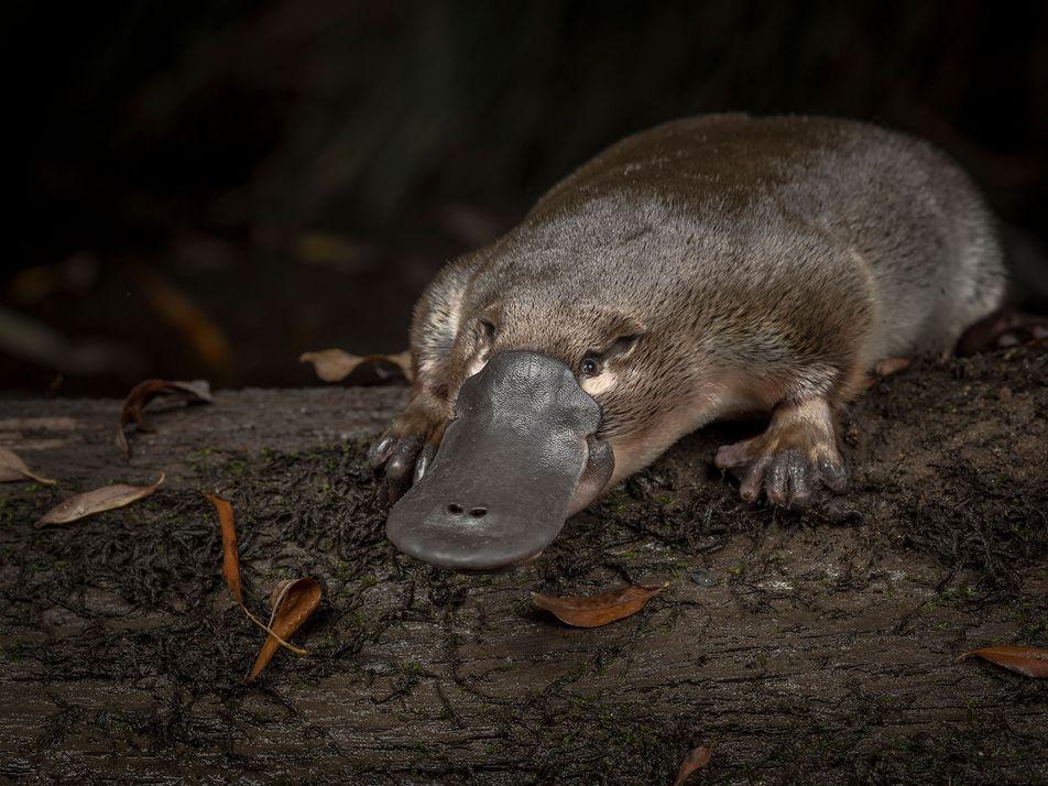 Schnabeltiere in Not: Niedlicher Sonderling droht auszusterben