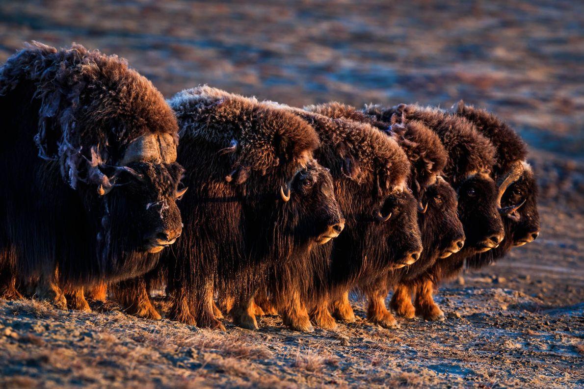 Moschusochsen wie diese Exemplare auf Ellesmere Island in Nunavut verfügen über dichtes, zottiges Fell, das sie ...
