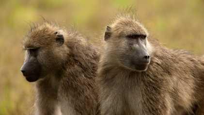 Amerikanische Jäger töten jedes Jahr mehr als 800 Primaten