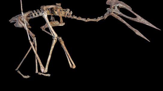 """Eine Skelettrekonstruktion eines Flugreptils namens """"Dracula"""". Der riesige Pterosaurier aus der Familie der Azhdarchoidea wurde in ..."""