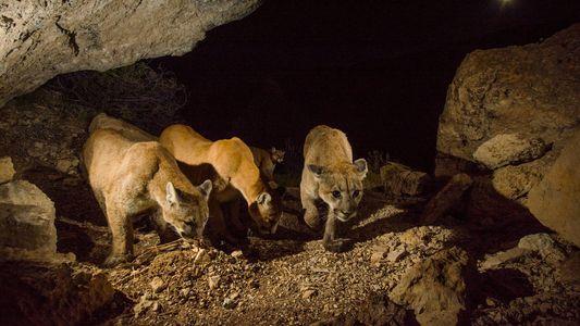 "Komplexe Gesellschaft der ""einzelgängerischen"" Pumas entdeckt"