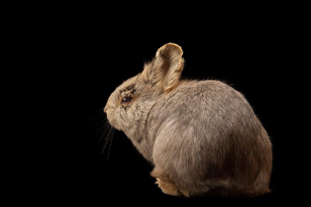 Die im Columbia Basin im US-Bundesstaat Washington heimische Population des Zwergkaninchens (Brachylagus idahoensis) gilt seit 2008 ...