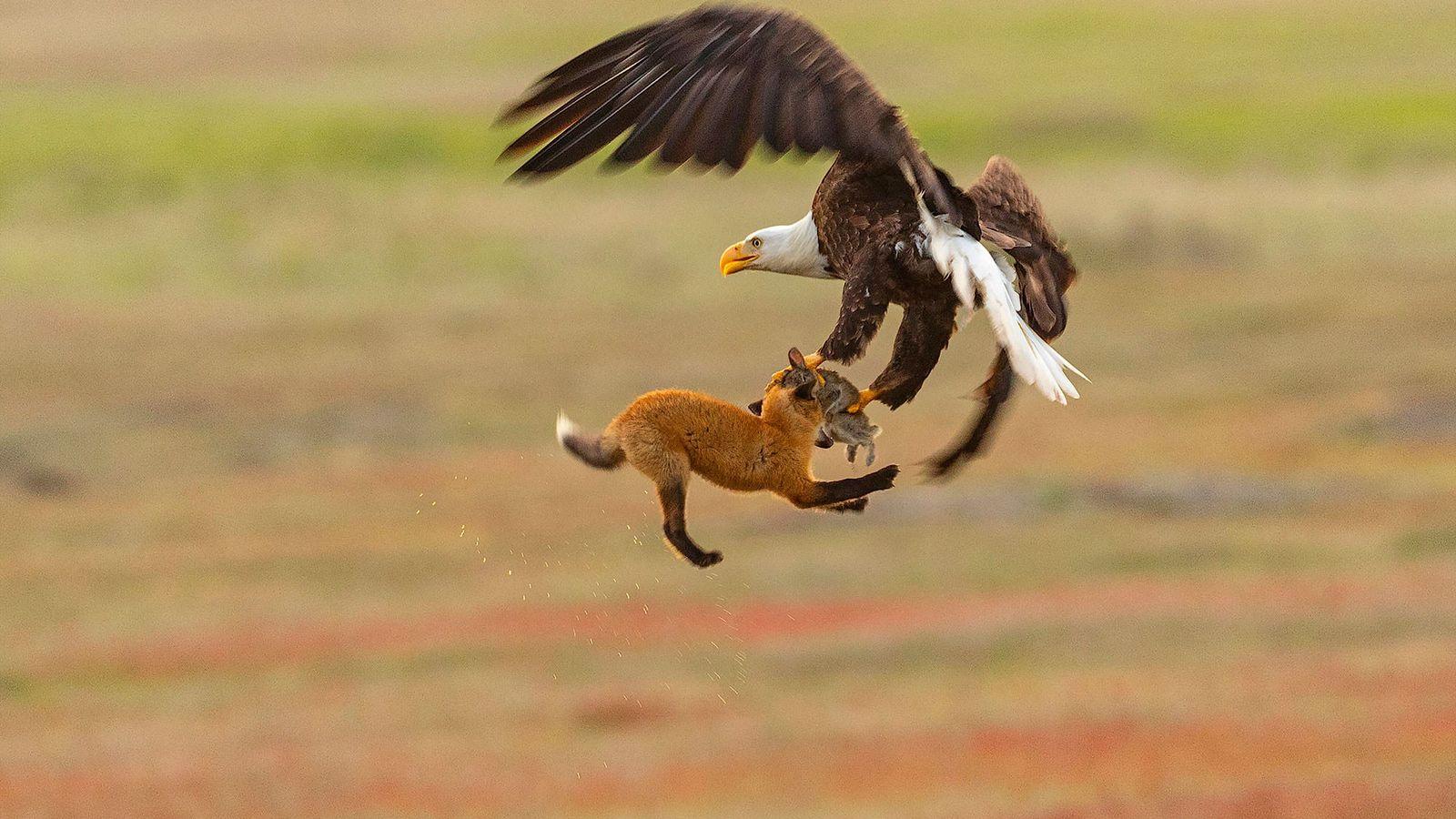 Ebi dachte, dass der Fuchs seine Mahlzeit vor Schreck loslassen würde – aber er hielt sich ...