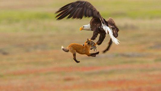 Adler stiehlt Fuchsbeute – mitsamt dem Fuchs