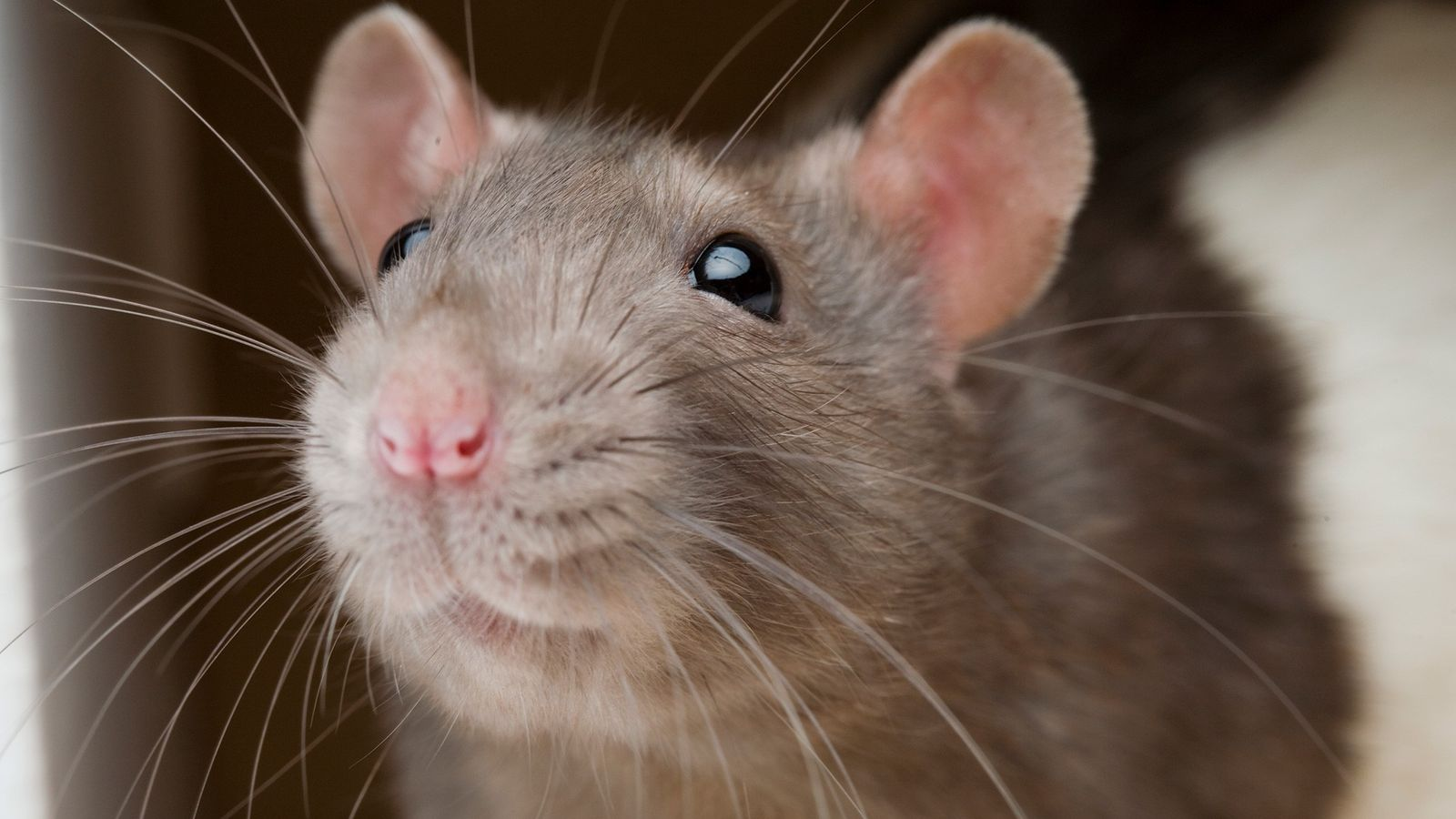 Ratten und Menschen vermeiden es tendenziell, ihren Artgenossen Schaden zuzufügen. Bei beiden wird dieser Impuls im ...