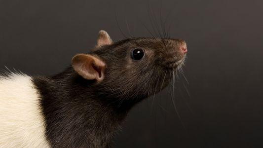 Mäuse spionieren Ratten über deren Tränen aus