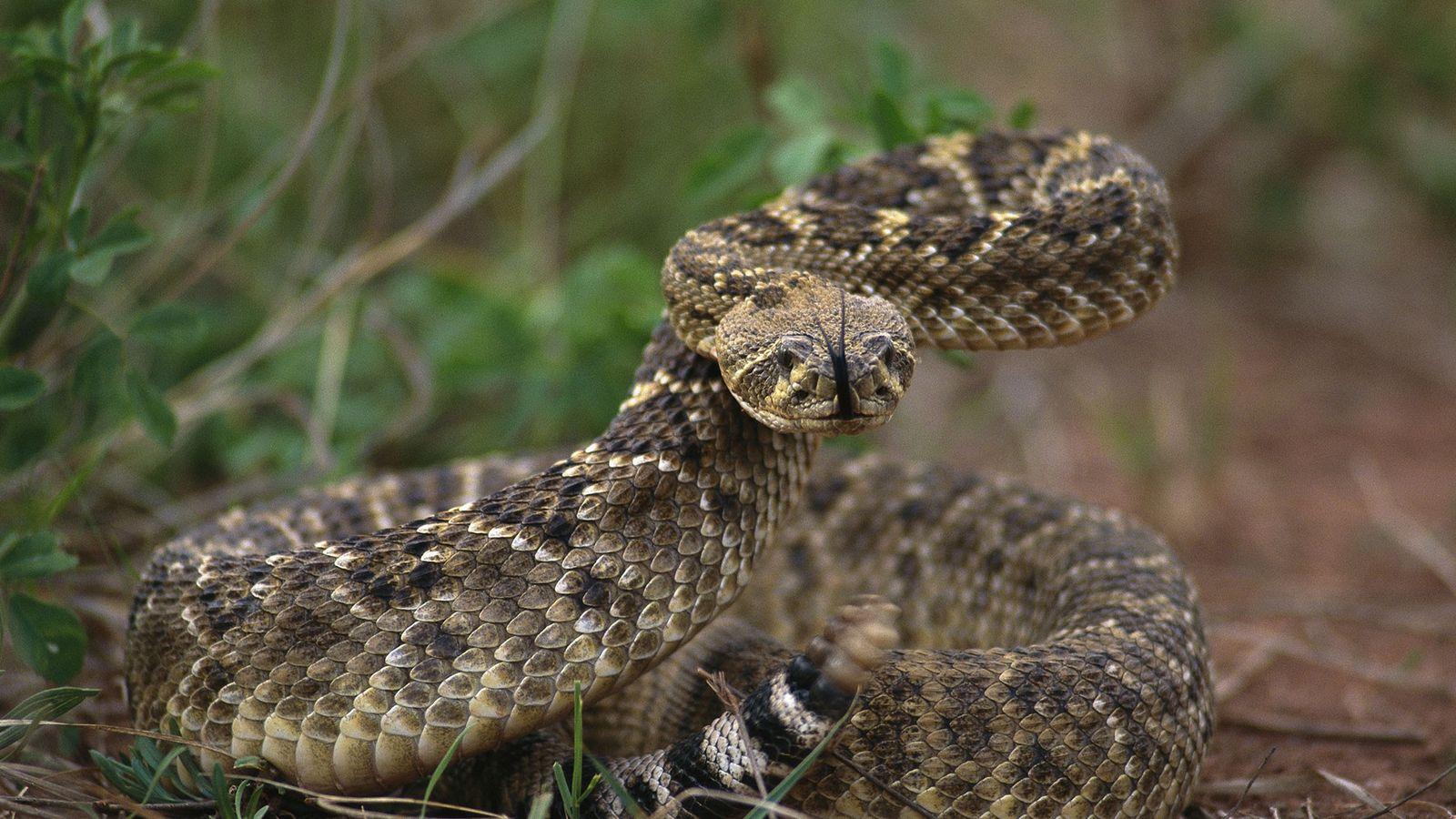 Texas-Klapperschlangen haben vor Menschen vermutlich mehr zu befürchten als die Menschen vor ihnen. Dennoch sollte man ...