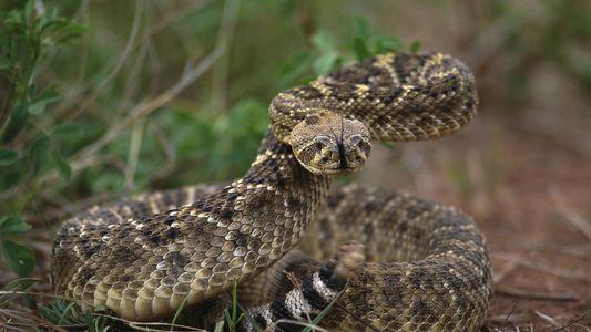 Auch enthauptete Schlangen können tödlich sein