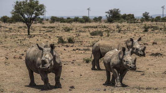 Sondermeldung: Handel mit Nashorn-Horn kehrt nach Südafrika zurück