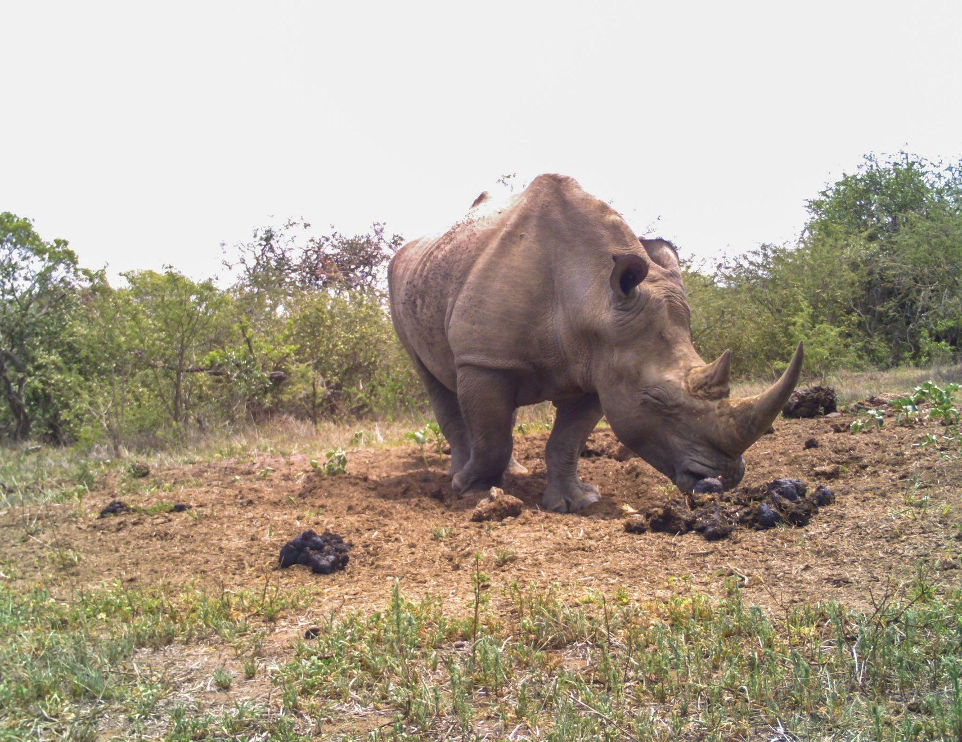 Ein männliches Breitmaulnashorn schnüffelt an dem Kot eines Weibchens in einem Misthaufen in Südafrika.