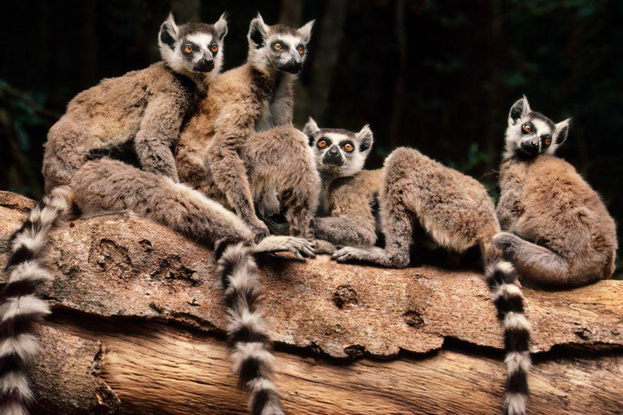 Die Sprache der Kattas: Entschlüsselung der Lemurenlaute