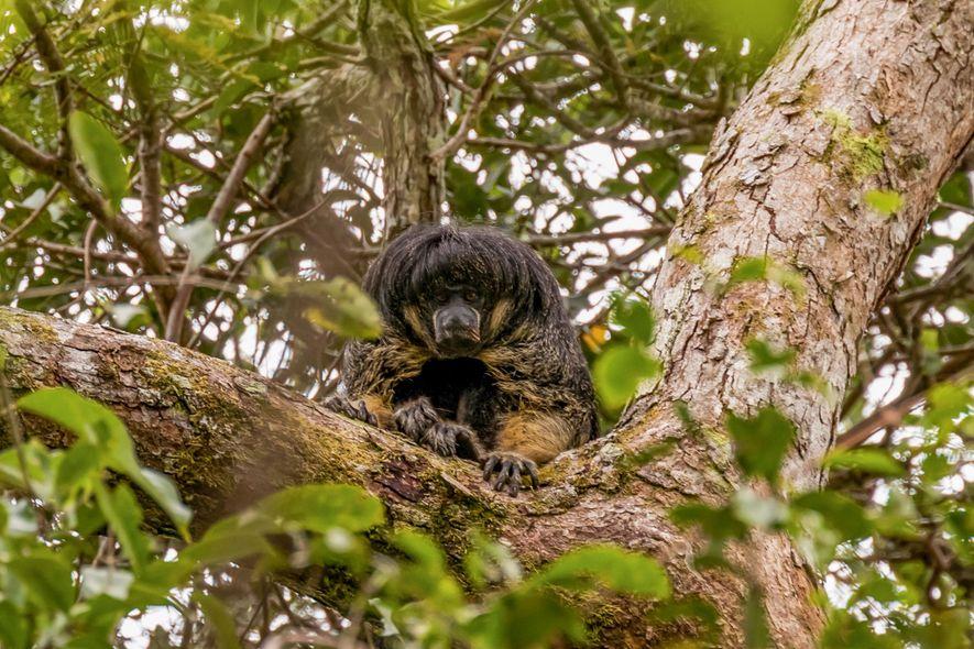80 Jahre verschollen: Mysteriöses Tier des Amazonas wiederentdeckt