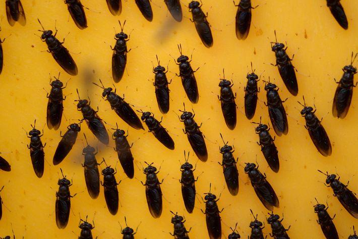 Fliegen der Art Hermetia illucens werden für ein Futtermittel auf Insektenbasis genutzt. Es soll das kontroverse ...