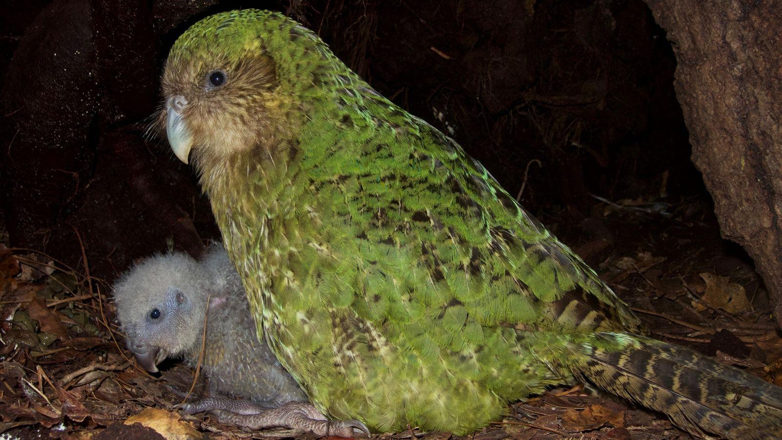 Kakapo Weibchen