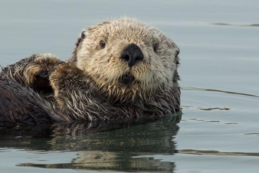 Ein Seeotter findet Zuflucht im Bootshafen von Homer in Alaska.