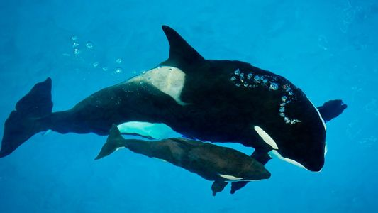 Letzter in Gefangenschaft geborener Orca von Sea World gestorben