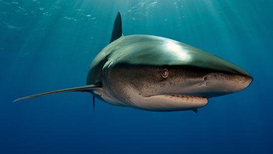 Ein Weißspitzen-Hochseehai (nicht das Exemplar aus dem Artikel) vor den Bahamas. Diese Haie jagen für gewöhnlich ...